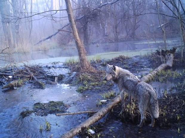 ch1-wolf